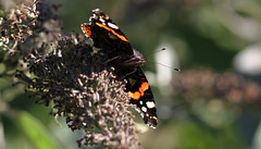 """Vanessa atalanta"" (bugman11) Tags: vanessaatalanta atalanta butterfly butterflies bug bugs insect insects animal animals fauna canon macro nature nederland 100mm28lmacro bokeh thenetherlands"