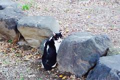 Today's Cat@2016-09-04 (masatsu) Tags: cat thebiggestgroupwithonlycats catspotting pentax mx1