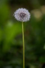 Pusteblume (eva jammernegg) Tags: lwenzahn sommer natur pusteblume canon ef 70300mm f456 is usm sterreich pflanze dandelion