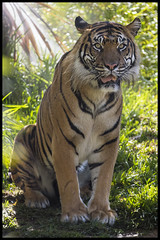 Langka (KRIV Photos) Tags: sandiego sandiegozoo tiger sumatrantiger