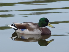 Mallard (davidntaylor1968) Tags: water reflection lake bird oneanimal animalthemes duck mallardduck waterfront animalsinthewild beak wildlife sideview swimming standingwater tranquility nature day focusonforeground zoology beautyinnature showcaseseptember photography