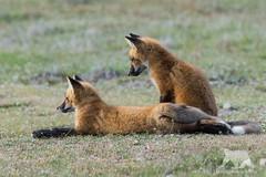 Fox Cubs (fascinationwildlife) Tags: animal mammal red fox wild wildlife nature natur cub fuchs rotfuchs field summer curious cute
