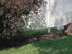 ** Rendez-vous canin ** (Impatience_1 (moins active ad mars)) Tags: zipper luna chien dog animaldecompagnie pet animal bête canin canine pitou physocarpe clôture fence m impatience coth coth5 paysage landscape