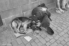 DSCF8235 (mates215) Tags: dog sleepy beggar bridge charlesbridge monochrome