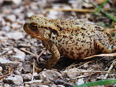 paused (mark.griffin52) Tags: olympusem5 england hertfordshire tringreservoirs nature wildlife amphibian toad