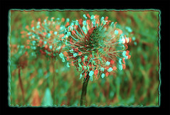 Buckhorn Plantain Flower 1 - Anaglyph 3D (DarkOnus) Tags: pennsylvania buckscounty huawei mate 8 cell phone 3d stereogram stereography stereo darkonus closeup macro bloom weed flower buckhorn plantain anaglyph