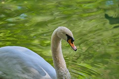 swan (rondoudou87) Tags: cygne swan couleur color vert green animal bird oiseau pentax k1 parc zoo reynou nature water eau
