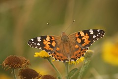 Painted Lady (Henry Hemming) Tags: painted lady butterfly cynthia vanessa nymphalidae