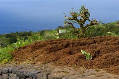 DSC04856 2048 (Dirk Buse) Tags: sony fe a7 ilce7 2470 24704 natur anbau lomomachinalto canarias spanien esp la palma kanaren spain espana acker landwirtschaft outdoor insel