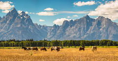 Ride a Painted Pony (Wildside Photography) Tags: grandtetonnp horses mountains tetonrange wyoming