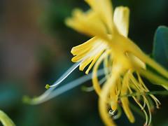Japanese honeysuckle (mark.griffin52) Tags: olympusem5 england buckinghamshire cheddington garden flower japanesehoneysuckle lonicera honeysuckle