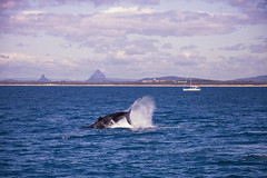 Whale-1 (Roz B) Tags: approved whale glass house mountains glasshousemountains whaleone queensland