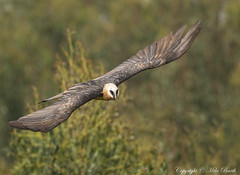 Bearded Vulture (Gypaetus barbatus) (Bird Guide UAE - 1M+ Views thanks !) Tags: gypaetusbarbatus beardedvulture