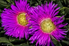 2163  Flores (Ricard Gabarrs) Tags: flor flores natura planta naturaleza botanica colores ricardgabarrus olympus ricaba
