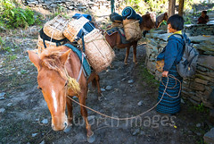 Trekking ponies (whitworth images) Tags: bamboo community carry bags nabji himalaya person himalayas rural ecotourism trek travel cane animals creatures porter bhutanese kubdra hike ponies asia domestic horses hills handlers agriculture cart woven korphu tourism remote south trekking trail equus mountains isolated baskets load bhutan