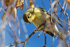 Blackpoll heading south! (Cameron Eckert) Tags: warbler migrant migration ecosystem ecological ecology ebird explore ecologicalmonitoring birding biodiversity birder beauty bird birdwatcher birds birdwatching biosphere yukon yukonterritory yukonriver college yellow birch tree sky
