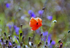 Still Summer (Jurek.P) Tags: flowers poppies meadow summer colours masuria mazury poland polska jurekp sonya77
