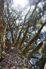 Yggdrasill (andeapuane) Tags: albero cedro tree cedar