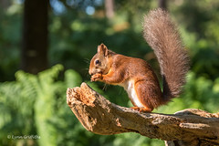 Red Squirrel D75_5268.jpg (Mobile Lynn) Tags: nationaltrust rodents wild brownseaisland redsquirrel nature fauna mammal mammals rodentia wildlife purbeckdistrict england unitedkingdom gb coth specanimal greatphotographers coth5 ngc sunrays5 npc