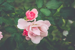 Roses (~ Lauren ~) Tags: rose roses flowers pink brush bush green leaves leaf vintage canada ontario garden gardens yard pretty
