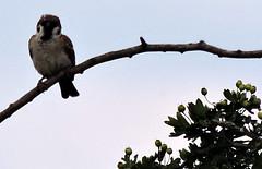 Eurasian Tree Sparrow, Passer montanus (asterisktom) Tags: 2016 trip2016kazakheuro july germany kahl bavaria bayern eurasiantreesparrow treesparrow sparrow passermontanus