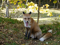 Mondays *_ * (Pivi ) Tags: female fox forest monday oslo norway autumn october