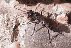 Auplopus carbonarius f - 21 IX 2016 (el.gritche) Tags: hymenoptera france 40 garden pompilidae auplopuscarbonarius female behavior