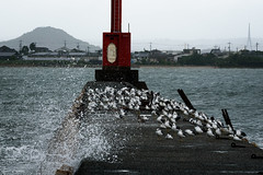 Black-tailed gulls (kurumaebi) Tags: yamaguchi  nikon d750  nature landscape birds    sea