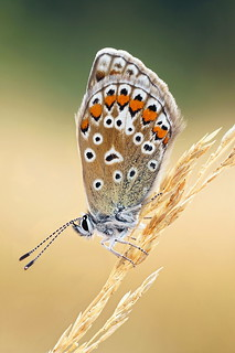 Common blue (Polyommatus icarus - female)