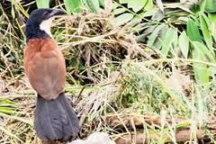 CUCAL (Ezio Donati) Tags: animali animals uccelli birds nikond810 natura nature africa camerun foresta forest raro rare