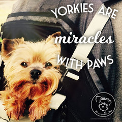 Im so happy for this small miracle in my life! (itsayorkielife) Tags: yorkiememe yorkie yorkshireterrier quote