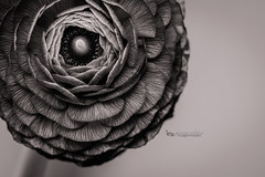 ranunculus BW (The Gaggle Photography | Jessica Nelson) Tags: ranunculus flowers flower macro macroflowers macroflower jessicanelson gagglephotography