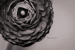 ranunculus BW (The Gaggle Photography | Jessica Nelson) Tags: ranunculus flowers flower macro macroflowers macroflower jessicanelson gagglephotography