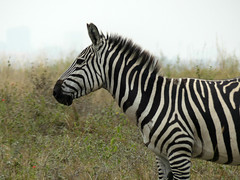 Nairobi National Park, Kenya (janetfo747 ~ slowing returning) Tags: nairobi nairobinationalpark park animals wild africa zebra impala capebuffalo ostrich cityscape giraffe