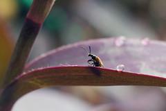 (  / Yorozuna) Tags:          lemuladecipiensbates lemuladecipiens    beetle bug insect 2250mmf35 22