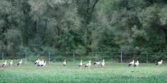 IMG_1274 (pinktigger) Tags: stork cigüeña storch cicogne ooievaar ciconiaciconia cicogna cegonha bird nature fagagna feagne friuli italy italia oasideiquadris animal outdoor trees meadow landscape