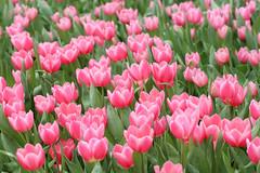 (Carl_W) Tags: flower tulip tulips pink flowershow hongkong hongkongflowershow2016 nature canon canoneos6d eos eos6d 6d fullframe