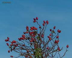 Gombsen, Hagebutten am Wegrand (joergpeterjunk) Tags: gombsen sachsen outdoor pflanze strauch busch hagebutte himmel wiese panasonicdmcfz200 bridgekamera