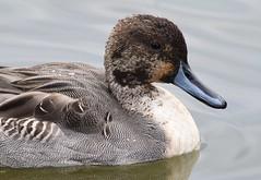 (careth@2012) Tags: duck nature beak feathers wildlife headshot