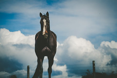 Horse on the hill (duplooy.michelle) Tags: newzealand canterbury nature outdoors country farm farming clouds blue black standardbred racehorse horse animal landscape grazing photography blaze mare silhouette fence color colour candid