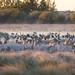 Cranes, Sandhill