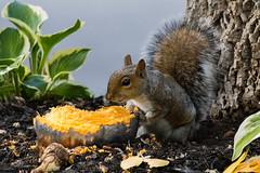 Smirk (Kenjis9965) Tags: eos7dmarkii canon eos 7d mark ii sigma 150600 f563 os c contemporary squirrel tree pumpkin sitting road eating snacking 150600mmf563dgoshsm|c