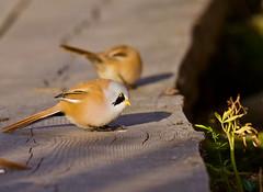Viiksitimali (ville koponen) Tags: vanhankaupunginlahti viiksitimali timali birds nature