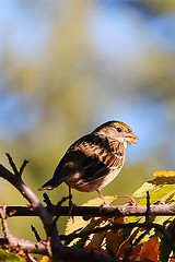 Golden-crowned Sparrow (Brown Acres Mark) Tags: goldencrowned sparrow jackson county oregon
