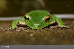 003莫氏樹蛙 ((小柏)) Tags: 莫氏樹蛙 樹蛙