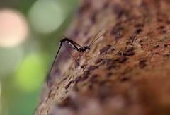 Ichneumonidae - 21 IX 2016 (el.gritche) Tags: hymenoptera france 40 garden ichneumonidae female laying corylusavellana behavior