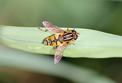 Common Tiger Hoverfly (Helophilus pendulus) (RiverCrouchWalker) Tags: hoverfly stripy helophiluspendulus commontigerhoverfy thefootballer thesunfly danglingmarshlover rspb rainhammarshes reeds reedbed leaf insect invertebrate october 2016 autumn elitebug