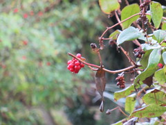 Sunday, 16th, My view from the back door IMG_8556 (tomylees) Tags: essex morning autumn october 2016 sunday 16th garden honeysuckle raindrop red berries