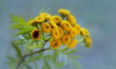 Gilisztaűző varádics / herb (Van'elise) Tags: tanacetum vulgare herb wildflower yellowflowers sárga vadvirág virág virágok gyógynövény