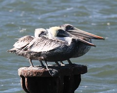 Brown Pelican (Pelecanus occidentalis) 10-10-2016 Pt. Lookout SP, St. Mary's Co. MD 5 (Birder20714) Tags: birds maryland pelicans pelicanidae pelecanus occidentalis